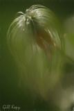 Clematis seed head4.jpg
