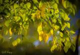 Leaves turning3.jpg