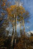 Fall aspens2
