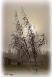 Leaning birch