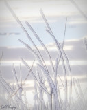 Frosted reeds on ice.jpg