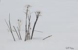 CowParsnip in snow