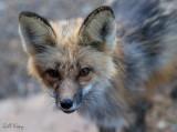 Fox visitor