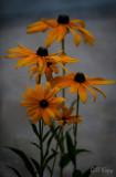 Evening_blooms.jpg