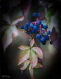 Virginia_Creeper