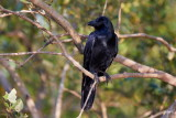 Large-billed Crow / Stornæbbet Krage
