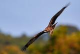 Black Kite Sort Glente, 1X8A8091, 21-11-17.jpg