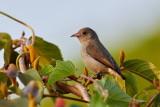 Pale-billed Flowerpecker / Blegnæbbet Blomsterpikker