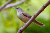 Clamorous Reed Warbler / Papyrussanger