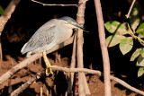 Striated Heron / Mangrovehejre, 1Y8A2232,02-01-19.jpg