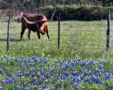 Texas Wildflowers 2017