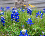 Texas Wildflowers 2018