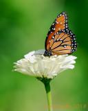 Monarch on White Zinnia