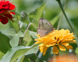 Cabbage White Butterfly - (Pieris rapae)