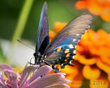 Black Swallowtail  - (Papilio polyxenes)