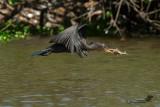 Cormorano neotropicale