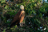 POIANA DAL COLLARE - BLACK-COLLARED HAWK