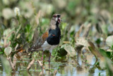 PAVONCELLA DEL CILE - SOUTHERN LAPWING