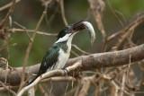 Martin Pescatore  dell'Amazzonia femmina