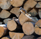 Guardian of the wood pile