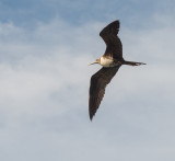 Magnificent Frigate Bird, Loreto