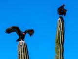 Turkey Vultures on Cardon cacti, Loreto