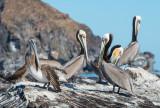 Brown Pelicans, Coronado Is. Loreto