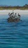 Coronado Is. Loreto Brown Pelicans