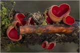 Rode kelkzwam - Sarcoscypha coccinea