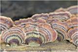 gewoon Elfenbankje - Trametes versicolor