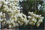 Krenteboom - amelanchier lamarckii