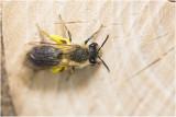 Zandbijensoort - Andrena spec.