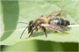 Witbaardzandbij - Andrena barbilabris