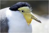 Maskerkievit - Vanellus miles