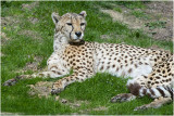 Cheetah - Luipaard