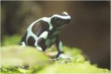 groenzwarte Gifkikker - auratus