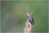 roodpoot Soldaatje - Cantharis nigricans
