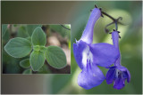 Kaapse primula - Streptocarpus Saxorum