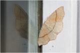 gestippelde Oogspanner - Cyclophora punctari
