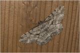 Taxus Spikkelspanner - Peribatodes rhomboidaria