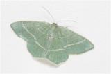 Smaragdgroene Zomervlinder - Chlorissa viridata