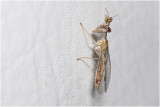 Mantisvlieg - Mantispa styriaca