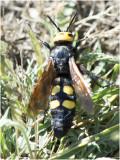 Dolkwesp - Scolia hirta - vrouwtje