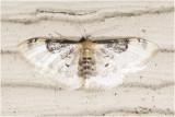Schaduwstipspanner -  Idaea rusticata