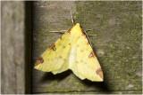 Hagedoornvlinder - Opisthograptis luteolata