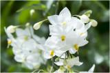 klimmende Nachtschade- Solanum jasminoides