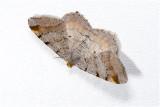 gerimpelde Spanner - Macaria liturata