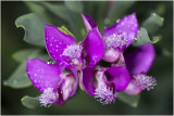 Vleugeltjesbloem - Polygala myrtifolia