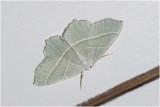 Appeltak - Campaea margaritata