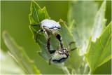 blauwe Bladsprietkever - Hoplia coerulea